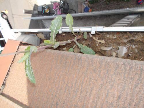 枯葉や土で溢れ返った雨樋