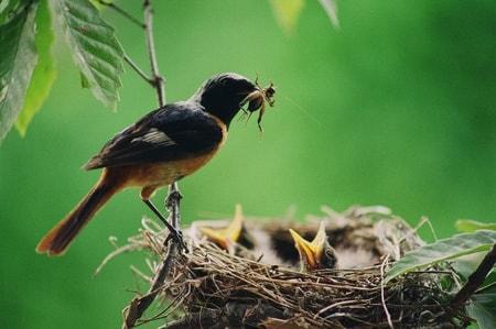 鳥の巣 餌をもつ親鳥